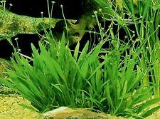 Pygmy Chainsword - Live Aquarium Plants java moss fern chain sword sag dwarf