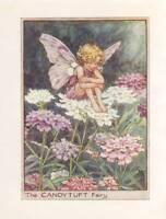 Flower Fairies: The Candytuft Fairy Vintage Print c 1930 Cicely Mary Barker
