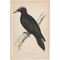 Morris antique 1863 hand-colored engraving, Bird print, Pl 64 Black Woodpecker