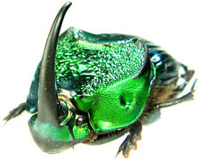 Insect - Phanaeus achilles - FN.Peru - X-Large Pair ....!!