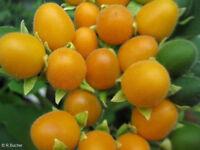 Der Brasilianische Samtpfirsich - dekorative Kübelpflanze mit essbaren Füchten !