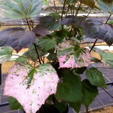 Abelmoschus manihot Auntie Lili's South Sea Salad Tree Live Plant