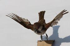 TAXIDERMY HOUSE SPARROW stuffed taxidermie Asia bird