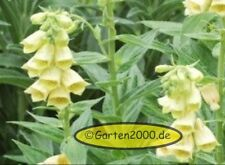 Digitalis grandiflora, gelber Fingerhut, Pflanze