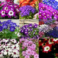 50pcs Ground-cover Chrysanthemum Seeds Perennial Daisy Flower Seeds Mix Color EL