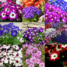 50pcs Ground-cover Chrysanthemum Seeds Perennial Daisy Flower Seeds Mix Color FT