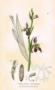 """Baxter's """"Botanical Gardens"""" - """"BEE ORCHIS"""" - Hand Colored Engraving - 1833"""