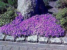 "Aubrieta cultorum x ""Purple"" (Rock Cress) x 50 seeds."