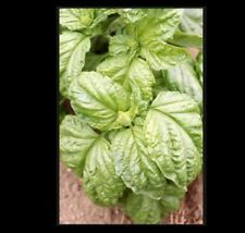 Basil Grandi Foglie Valentino Italian 100 - 8000 Seeds Gourmet Aroma Microgreens