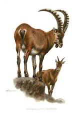 Impression Affiche papier Histoire Naturelle le Bouquetin des Alpes capra ibex