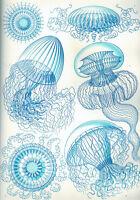 Ernst Haeckel Leptomedusae Jelly Fish Biology Painting Real Canvas Art Print