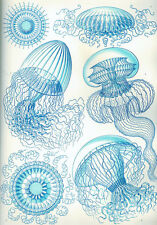 Ernst Haeckel Leptomedusae Jelly Fish Biology Painting Real Canvas Art Print