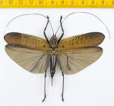 HOPPER/KATYDID - Orthoptera sp - Tapah Hills - MALAYSIA - 4643