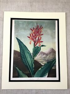 Vintage Botanical Print Indian Reed Flower Floral Thornton Temple of Flora LARGE