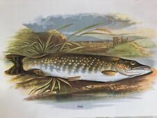 Pike print from the book freshwater fishes, W. Houghton, perfect for framing