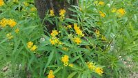 Yellow Milkweed Seeds (Asclepias currassavica) - 'Silky Gold' - 1000+ Seeds