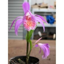 1x Pleione Tongariro TRIX (Peacock miniature Orchid, pot plant bulb rare, star)