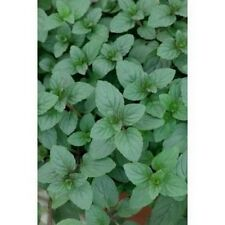 Peppermint- Herb- 100 Seeds- BOGO 50% off SALE