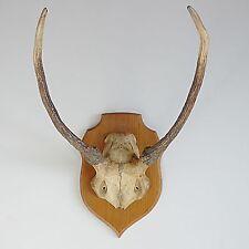 vintage decoration ancien trophée de chasse avec cornes massacre taxidermie 1970