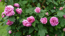 roses MMe Isaac Pereire bourbon 3 individual plants in 10.5cm pots old time rose