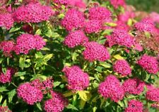 50Pcs Spiraea Flowers Shrubs Seeds Rare Eleiosina Beautiful Decor Garden Plants