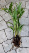 "9 Areca Palm Dypsis Lutescens Florida Houseplant Air Purifier 7-18"" Live"