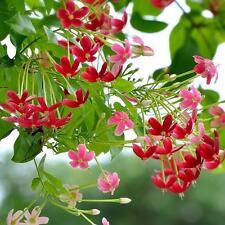 3pcs 2017 Novel Plant herbal Quisqualis seeds, climbing Shrubs flower seeds