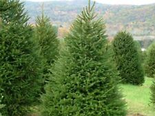 50 Balsam Fir Tree * Seeds * Evergreen Christmas Seedlings Plant Bonsai