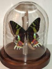 Butterfly Dome: Sunset Moth (Chrysiridia rhipheus)