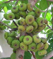 8 graines FIGUIER A OREILLES D'ELEPHANT(Ficus Auriculata)H342 ROXBURGH FIG SEED