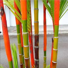 100Pcs Phyllostachys Pubescens Moso-Bamboo Seeds Garden Plants