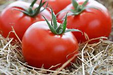 Seeds Tomato Flora Red Large Vegetable Organic Heirloom Russian Ukraine