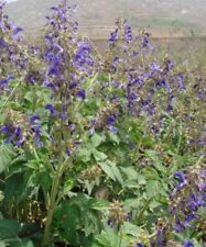 Red Sage Seeds - Salvia Miltiorrhiza Dan Shen Herb Seeds 100,200,300