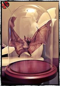 Open Winged Bat Under Dome  - Taxidermy, Oddities, Macabre, Occult, Witchcraft