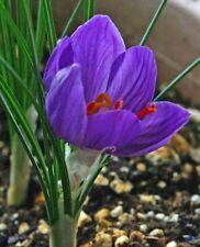 50 Saffron Crocus Bulbs Free Shipping