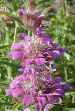 lemon mint, Attract Hummingbirds, purple flowers, 1200 seeds! GroCo