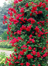 Rose Bare Root 'Pauls Scarlet' Plant Climbing Semi Double Bright Scarlet Red