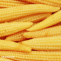 Sweetcorn (Mini Pop) Baby Corn or Let grow and harvest for popcorn - 25 Seeds