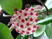 Hoya Krinkle 8 ben radicate taglio House plant in 9.0 cm POT