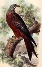 1896 Kite Rare Original Antique Hand Coloured Bird Print