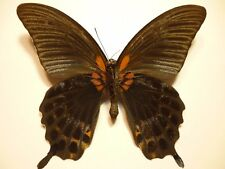 Real Dried Insect/Butterfly/Moth Non-Set.Large Papilio lowi zephyria
