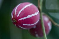 *Rare Exotic* Lolipop Vine Plant Seeds (5 Seeds)