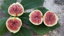 New listing Sakiz Fig 2 Fresh Cuttings