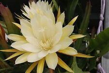 "Epiphyllum Blattkakteen Epicactus /""Cooperi /"" Jungpflanzen Leitner"