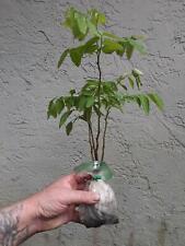 Katuk – Sauropus androgynus / 5 live seedlings