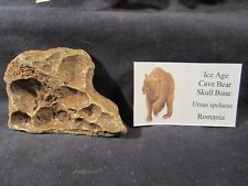 Ice Age Cave Bear Skull Fossil from Romania with Display Label Pleistocene Age