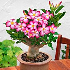 5pcs Rare Pink Adenium Obesum Seeds Desert Rose Seeds Landscape Flower Decor CA
