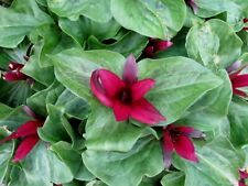 GIANT RED TRILLIUM Chloropetalum Giganteum Native Wildflower Shade 3 Rare Seeds