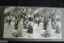 STB256 Cocoanut Palms cocotier palmier Photo STEREO albumen original