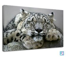 Cute big cat snow leopard sleeping on the rock Canvas Wall Art Picture Print